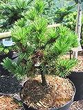 Pinus mugo Peterle - Zwergk