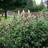 Zwerg-Schmetterlingsflieder Miss Ruby - Sommerflieder (Buddleja) Pflanze in rot, halbschattig und winterhart - Flieder-Strauch von Garten Schlü