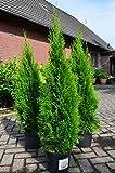 Smaragd Lebensbaum Thuja occidentalis Smaragd 100-125 cm hoch im 5 L