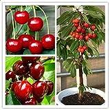 TENGGO Egrow 20 Teile/Beutel Kirschsamen Hause Indoor Obst Bonsai Zwerg Kirschbaum Samen Pflanzen