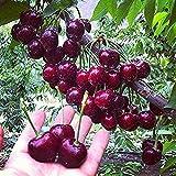 20 Stücke Süßkirsche Samen Strauch Prunus Cerasus Kirschbaum-Fruchtsamen (Schwarzkirsche) Kirschbaumsamen