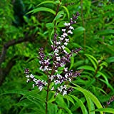 TENGGO Egrow 50 Stück/Packung Zitronenverbene Samen Bio Lippia Citriodora Kräuter Bonsai Pflanzen