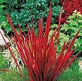 Japanisches Blut Gras * Red Baron * Ziergras * Pflanze * Imperata cylindrica