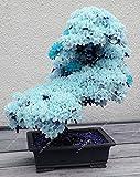 15pcs / seltenen blauen japanischen Sakura-Samen, Kirschblüte Zier Bonsai - Pflanze