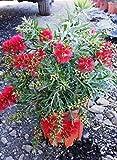 Karminroter Zylinderputze Busch 60 cm - Callistemon Masotti - Kübelpflanze