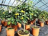 Kumquat Zwergorange Fortunella margarita Citrus Zitrus 60-80 cm Zitruspflanze B
