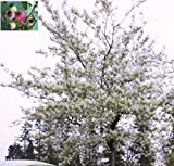 Baumschule Pflanzenvielfalt Amelanchier lamarckii - Kupfer-Felsenbirne