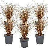 Carex 'Bronco'   Bräunliche Garten-Segge pro 6 Stück - Freilandpflanze in Anzuchttopf ⌀12 cm - ↕25-30 cm