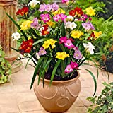 50x Freesia | Freesien Blumenzwiebeln Mischung | Blumenzwiebeln für Garten und Balkon | 4-5