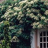 Hydrangea petiolaris   Kletterhortensie Winterhart   Hortensie Garten   Höhe 55-65 cm   Topf-Ø 15 cm