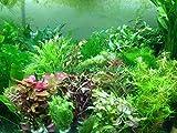 Generisch 70 schnellwachsende Aquariumpflanzen Wasserpflanzen gegen Algen im Aquarium