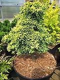 Chamaecyparis lawsoniana Bregeon Jaune - Zwerg-Muschelzypresse Bregeon Jaune