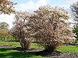 Kupfer-Felsenbirne - Weiße Blüte - Amelanchier lamarckii Containerware 80-100 cm - Garten von Ehren®
