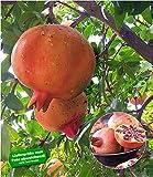 BALDUR Garten Granatapfel, 1 Pflanze Punica granatum Granatapfelbaum winterhart bis -15°C