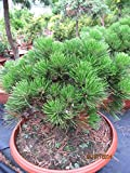Pinus leucodermis Schmidtii - Schlangenhautkiefer Schmidtii