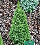 Zwerg Zuckerhutfichte 25-30cm - Picea glauca
