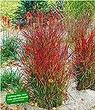 BALDUR-Garten Winterhart Ziergras Roter Strahl, 1 Pflanze Panicum virgatum Rotstrahlgras