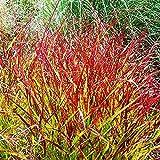 1x rhizom Gräser Rutenhirse Ziergras winterhart mehrjährig Garten ziergras Panicum Rehbraun