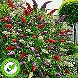 3x Fliederbaum | Buddleja Davidii | Schmetterlingsflieder | Fliederbaum winterhart | Rot - Weiß - Blau | Höhe 25-30 cm | Topf-Ø 9,5 cm